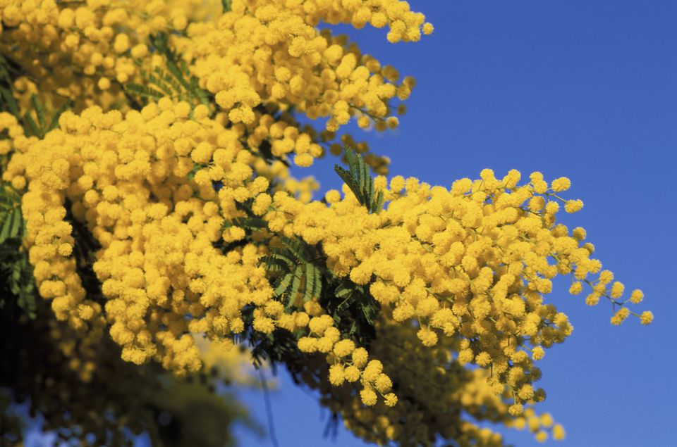 Mimosa Flowers.