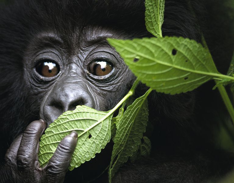 Baby Mountain Gorilla, North West Rwanda