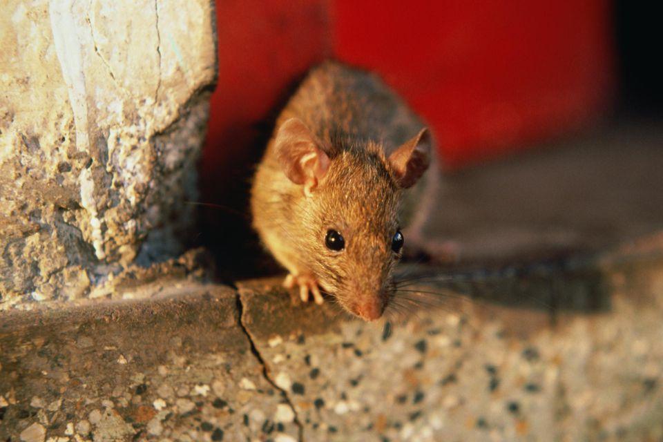 Black Rat (Rattus rattus)