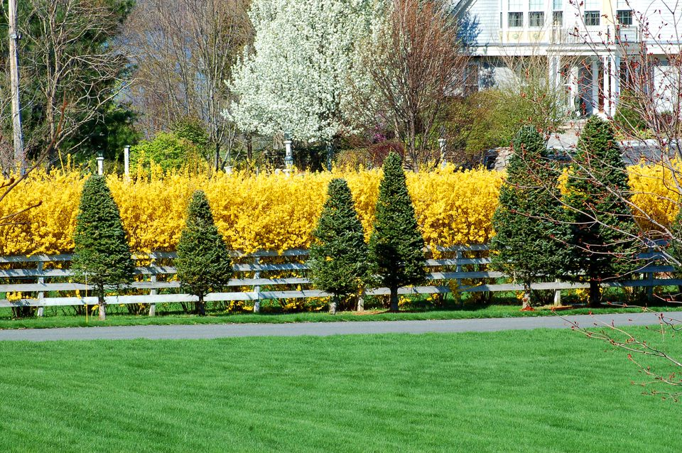 A forsythia hedge (image) is set off by evergreens. It's a striking driveway planting.