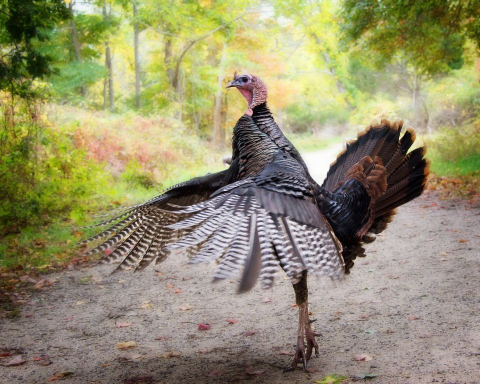 Wild Turkey for Thanksgiving