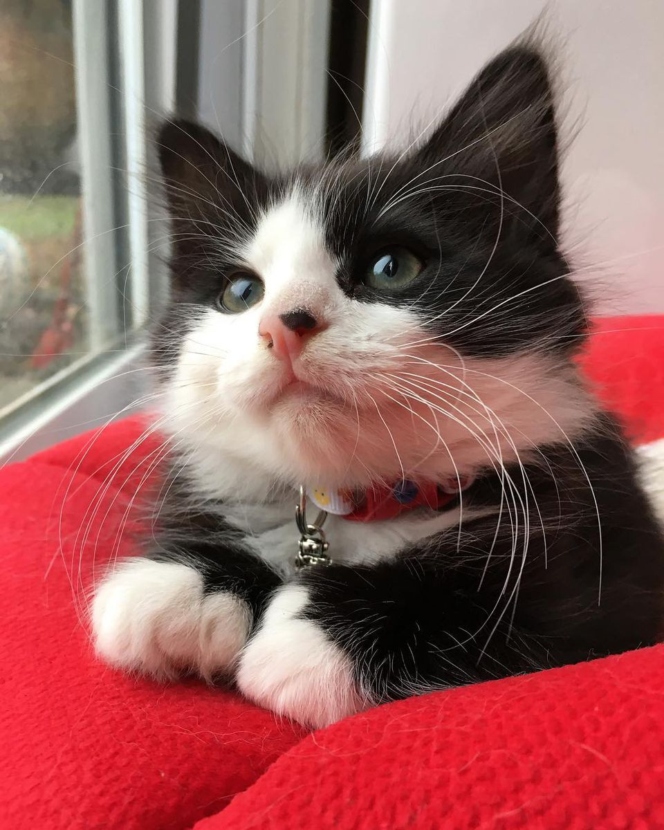 Pictures Of Tuxedo Cats And Kittens