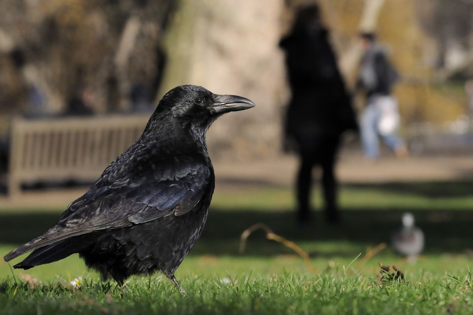 Carrion crow (Corvus corone) foraging on lawn with woman standing in shadow and a man running in the background, St. James's Park, London, UK, January.