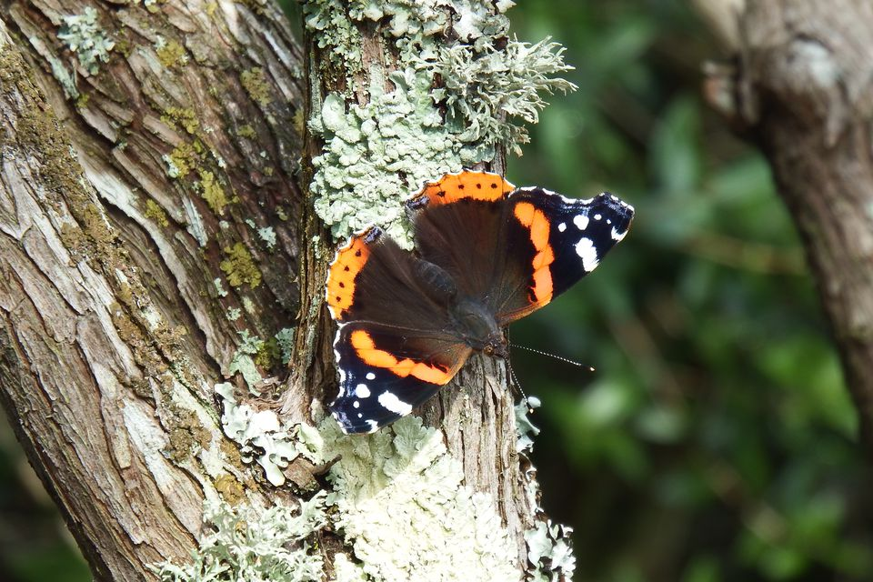 Butterfly, Vanessa atalanta, perched on a tree with lichens