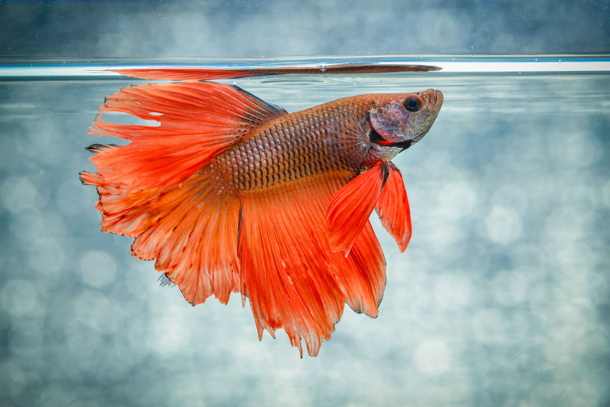 Siamese fighting fish fish breed profile for What type of water do betta fish need
