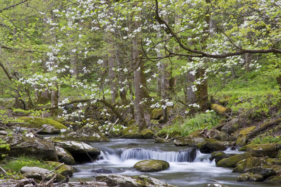 Dogwood trees in spring along Little River, Tremont, Great Smoky Mountains National Park, Tennessee, USA