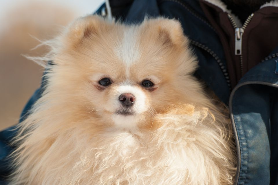 Cute Pomeranian being held outside in cold winter snow.