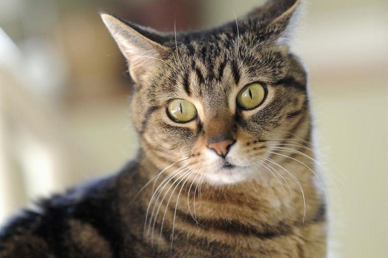 Healthy tabby cat looking alert