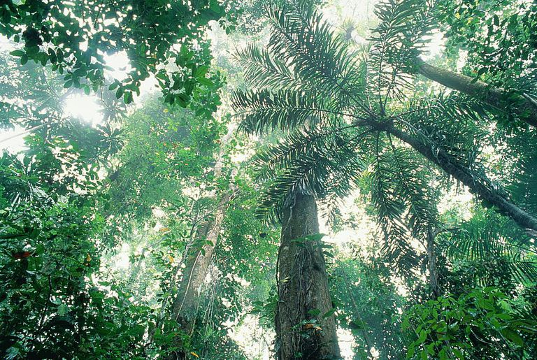 View looking up into tropical rainforest