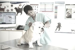 Veterinarian Giving Bulldog A Shot