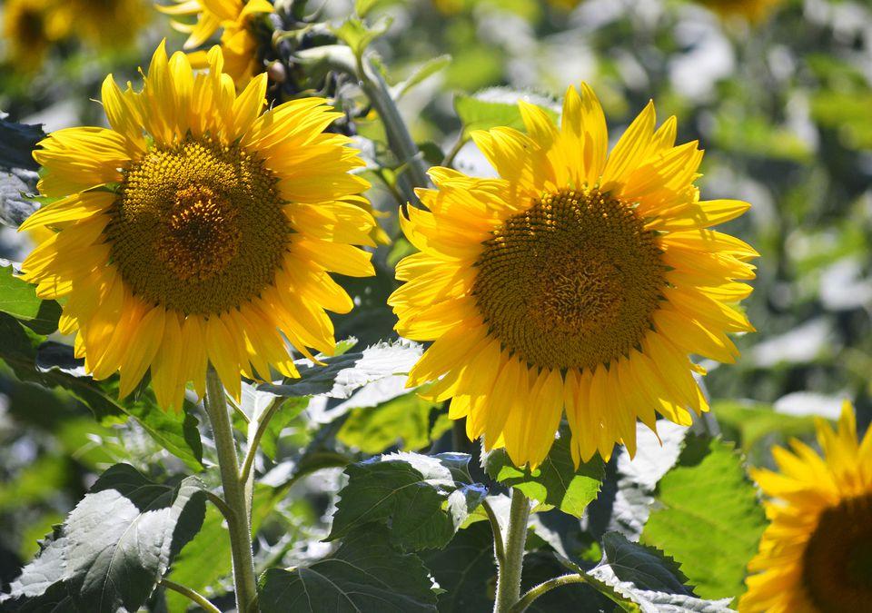Sunflower Varieities