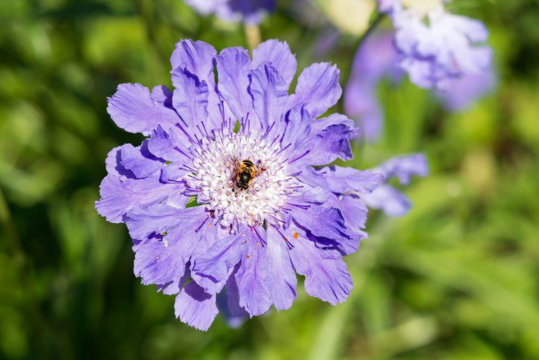 Caucasian pincushion flower (Scabiosa caucasica).