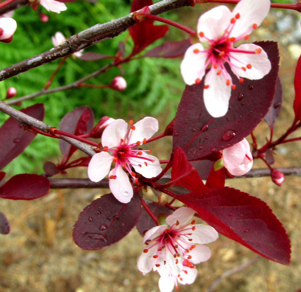 Trees and shrubs with purple leaves purple leaf sand cherry dhlflorist Choice Image