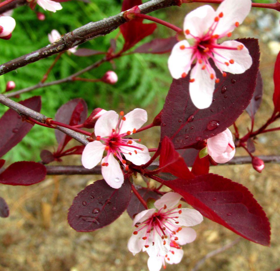 Purple leaf shrub with pink flowers - Purple Leaf Sand Cherry
