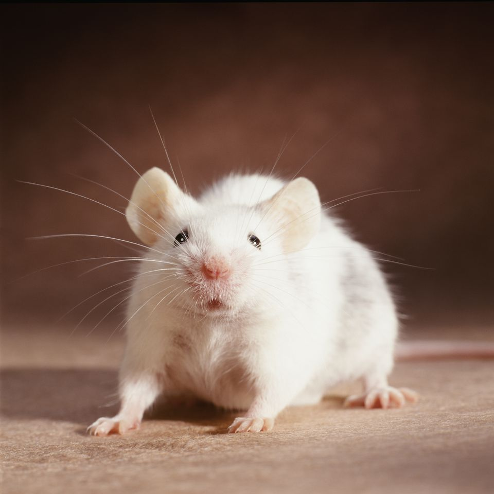 White Rat on Brown Background
