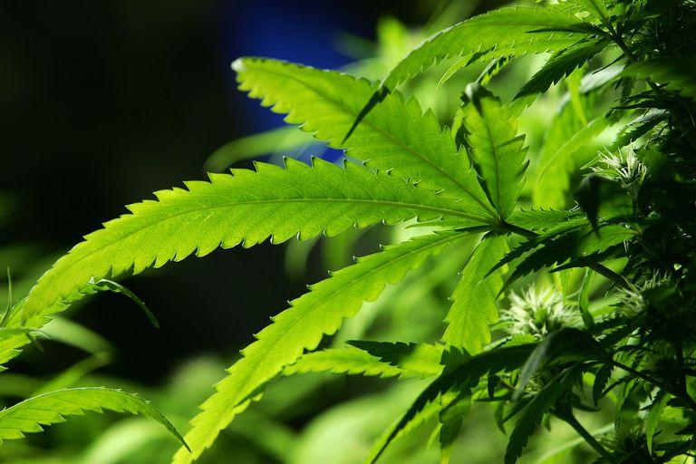 Cannabis plant