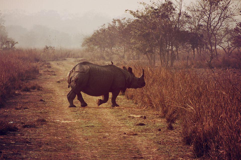 Rhino at Pobitora.