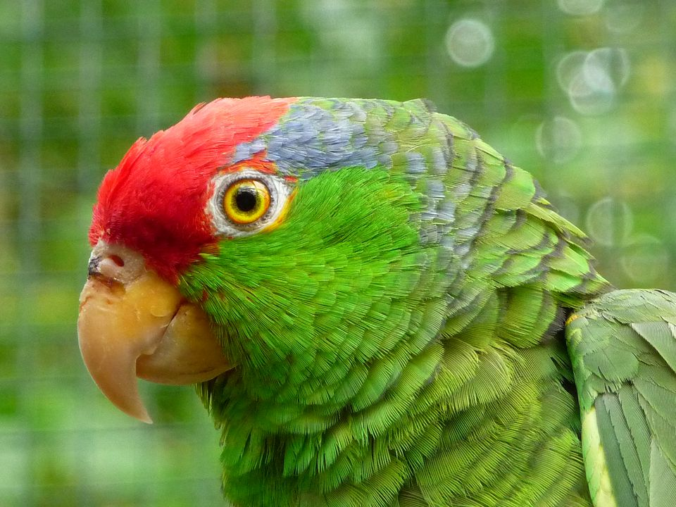Red-crowned Amazon (also known as the Green-cheeked Amazon).