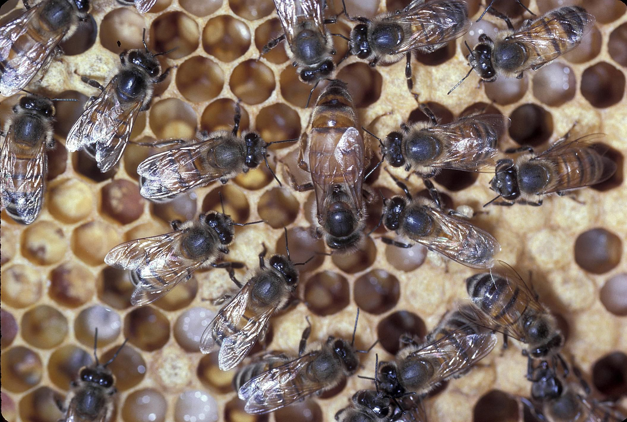 the roles of queens drones and worker honey bees