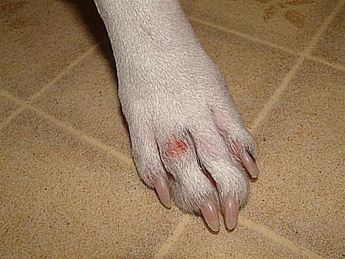 Dog Toe Lesion