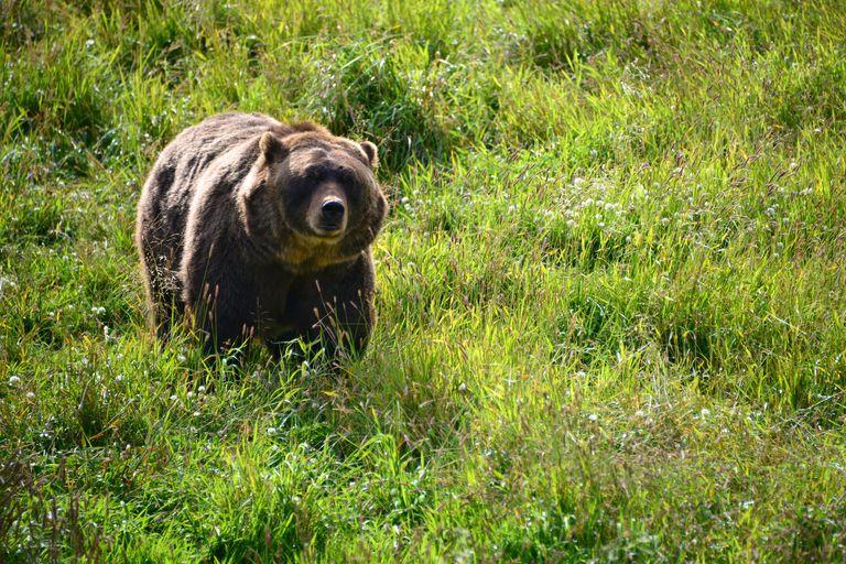 Grizzly bear in wilderness, Anchorage, Alaska, America, USA