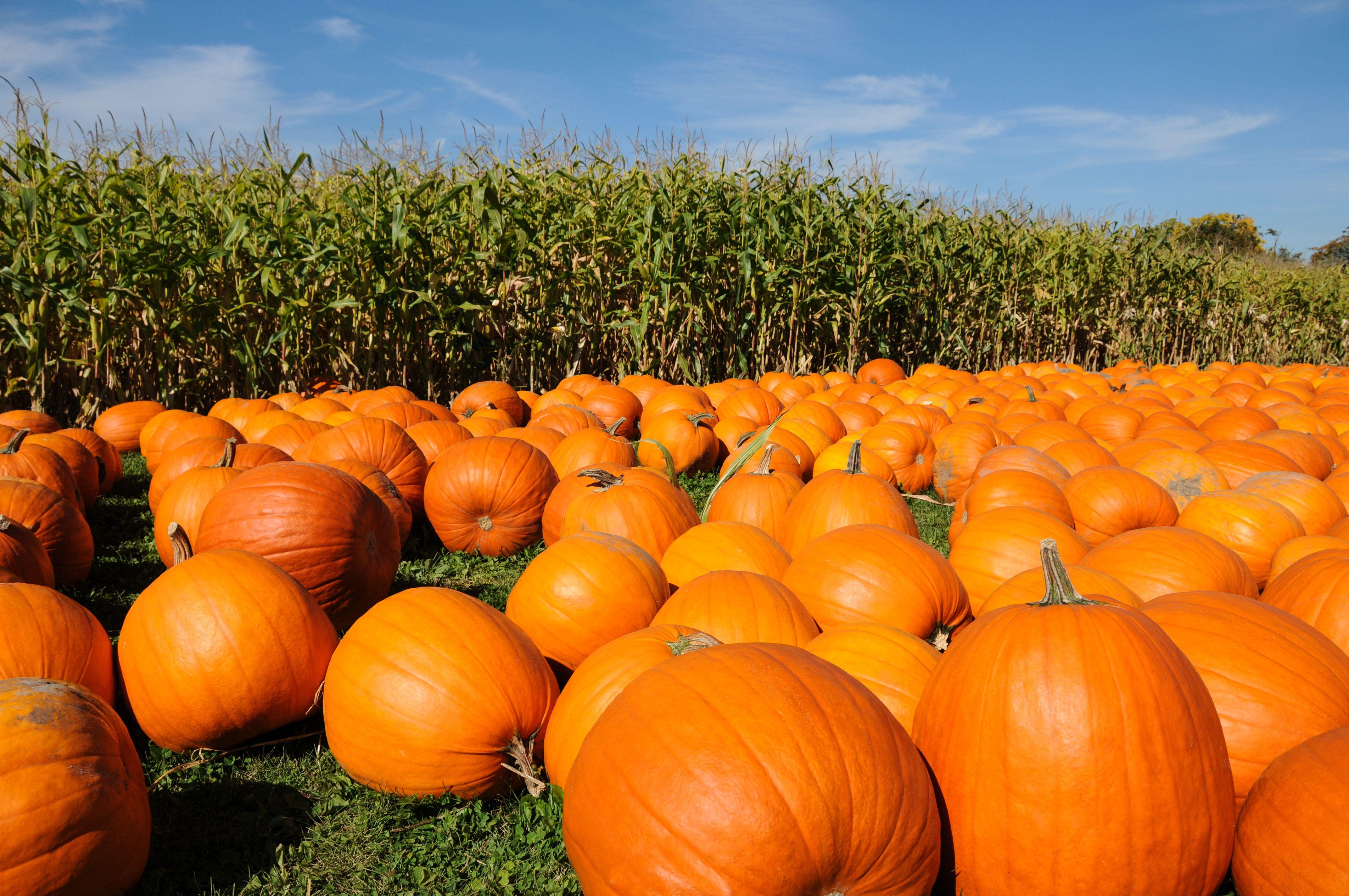 Pumpkin Farms Near Toronto