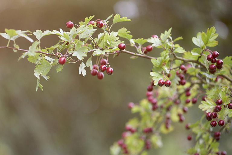 Hawthorn berries growing on branch.