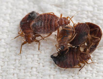 flea insect