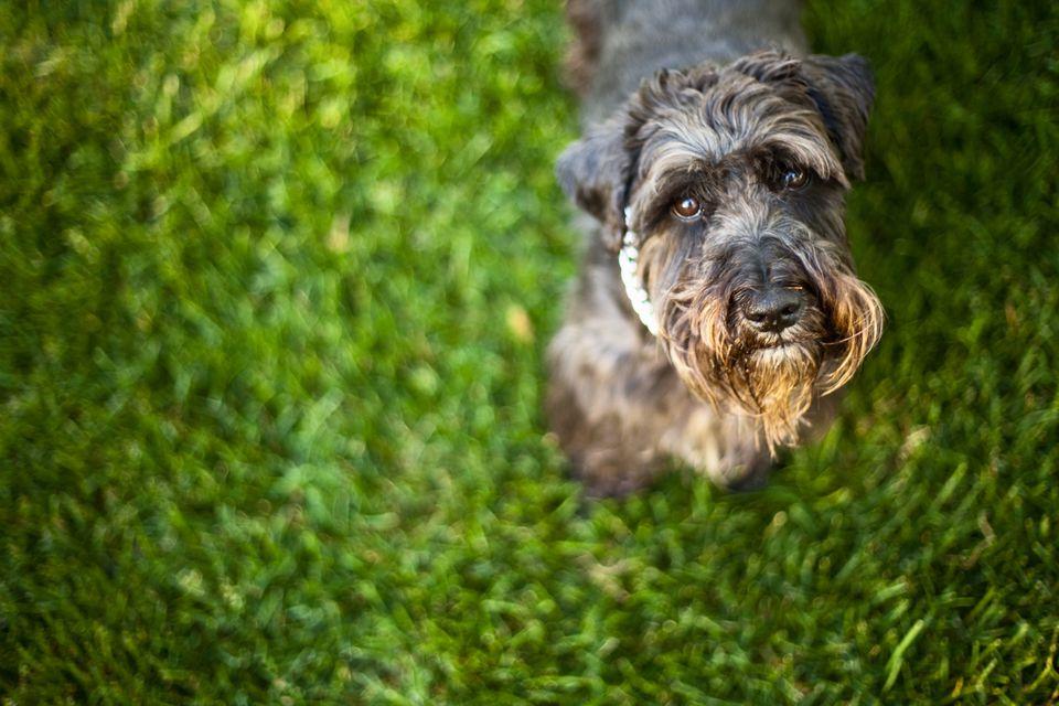 Dog on grass looking up at camera
