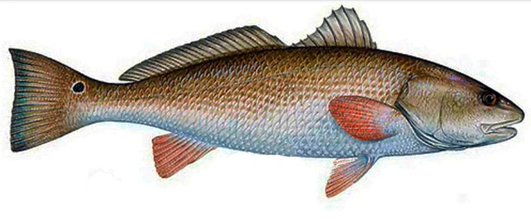How to catch a red drum for Saltwater drum fish