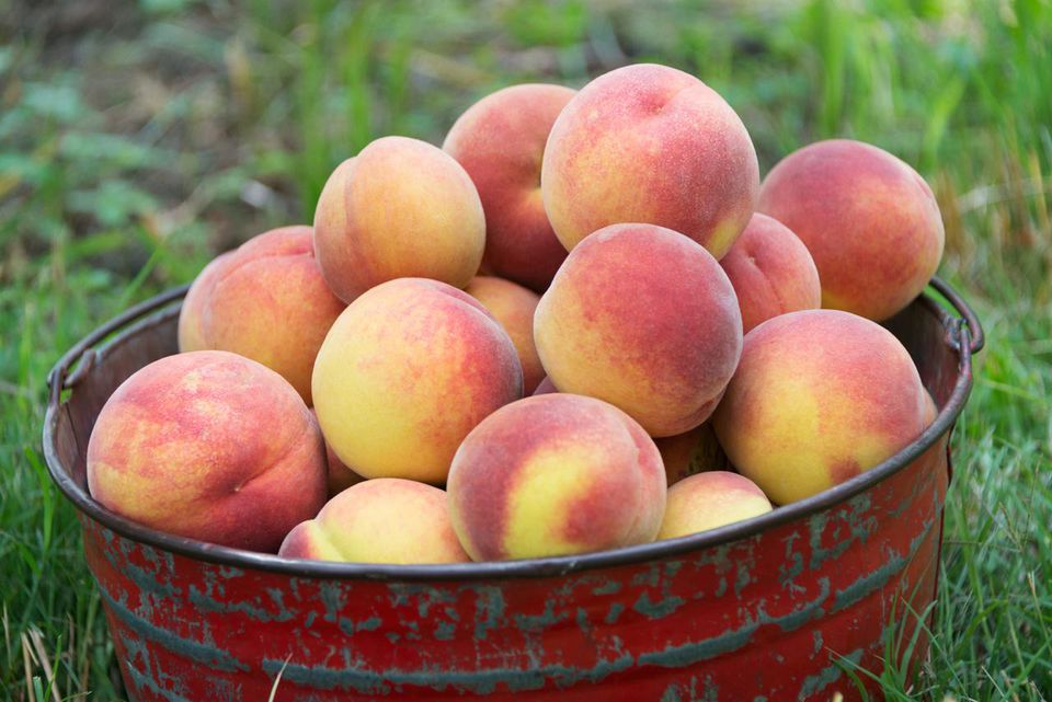 Bucket of fresh picked Georgia peaches