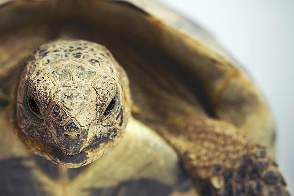 Tortoise head up close