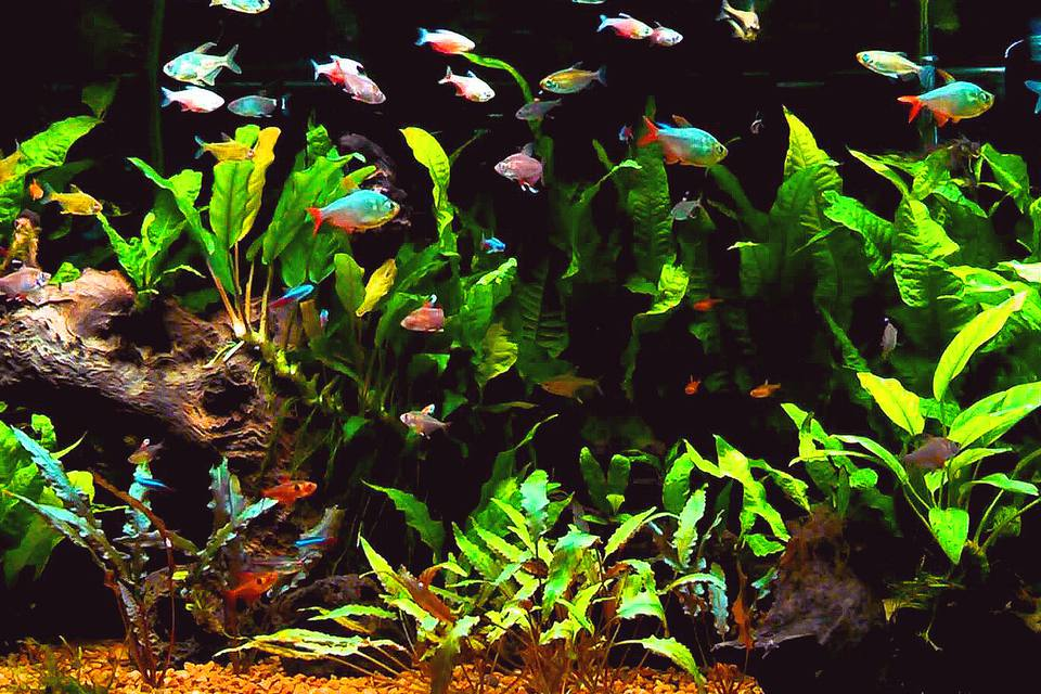 The characin family why tetras thrive in community aquariums for Community fish tank