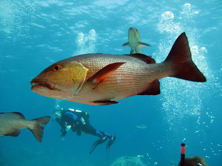 How to catch redfish habitat baits and methods for Saltwater drum fish