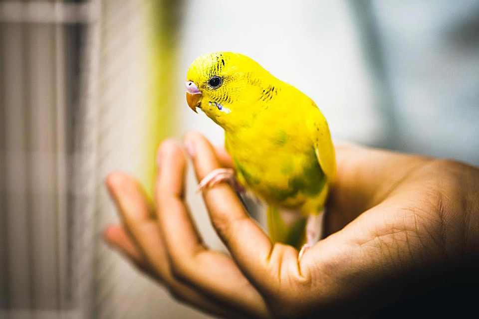 Yellow parakeet/budgie/bird, looking sideways