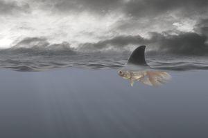 Goldfish with shark's fin swimming underwater