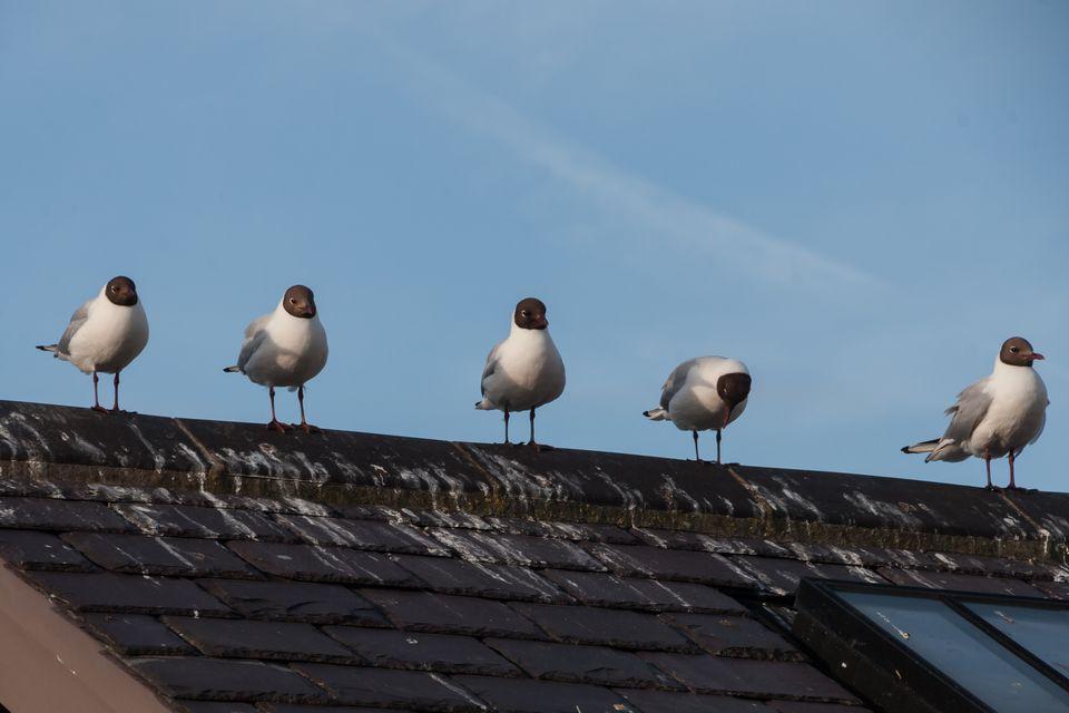 Gulls on Roof