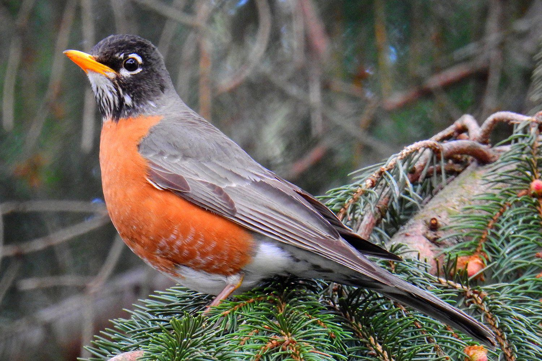 American Robin Turdus Migratorius