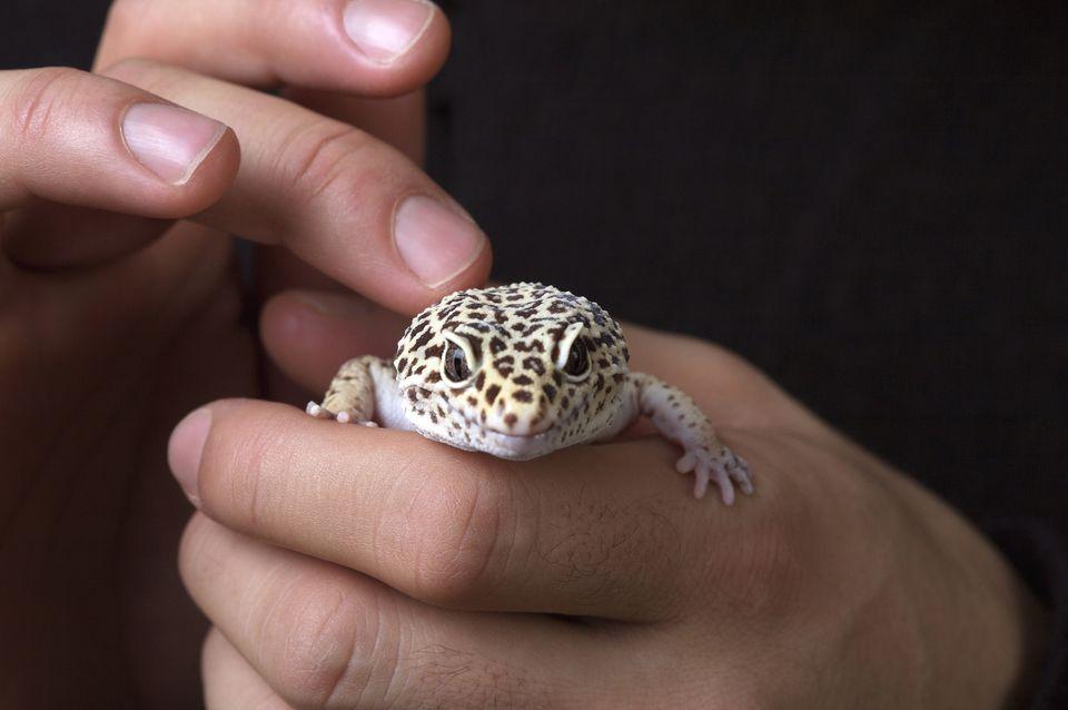 Man Petting Leopard Gecko