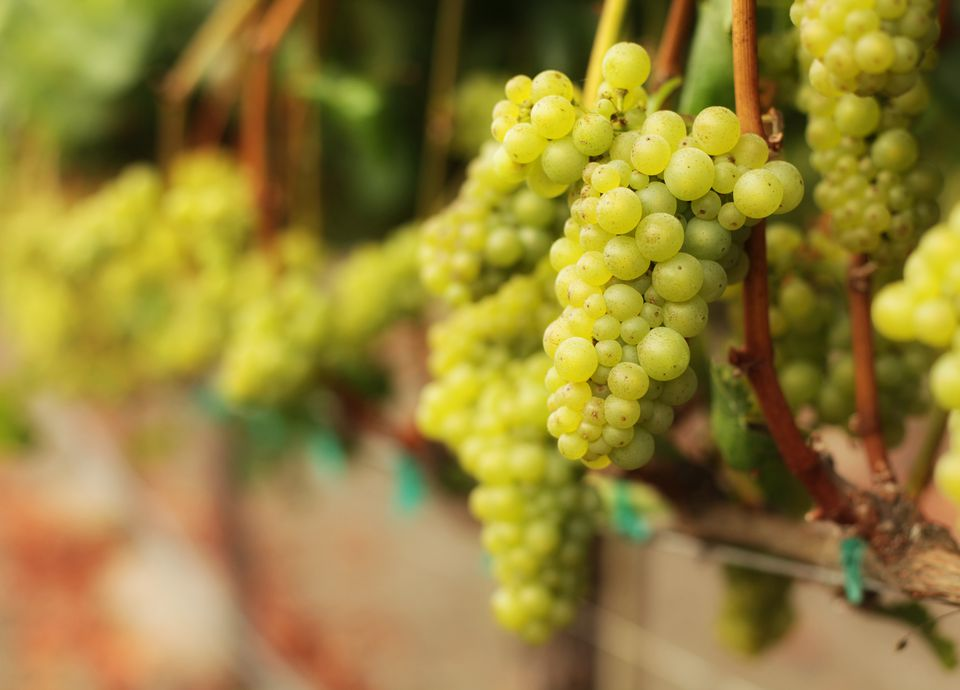 White Wine Grape Bunches