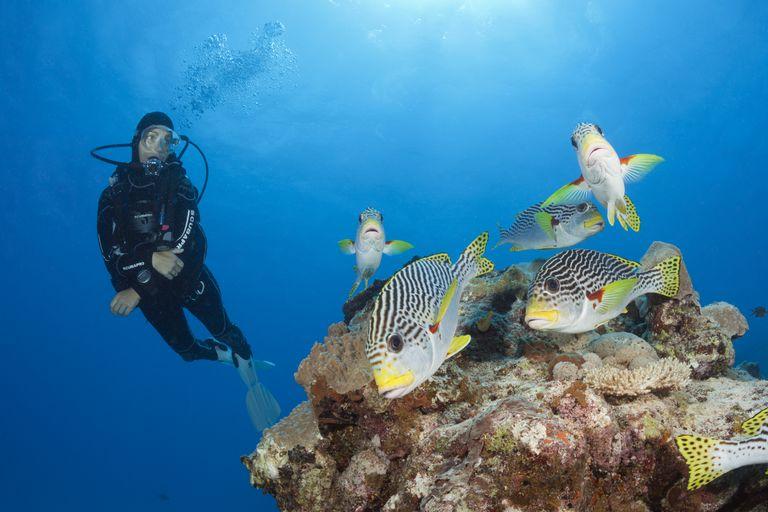 Scuba Diver and diagonal-banded Sweetlip fish