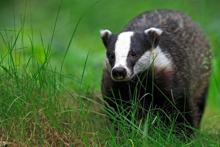European badger - Meles meles