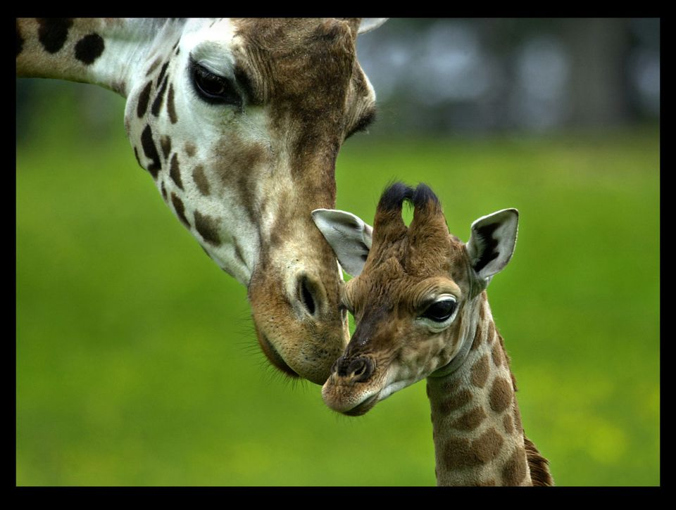 Mother and Baby Giraffe at Longleat Safari Park