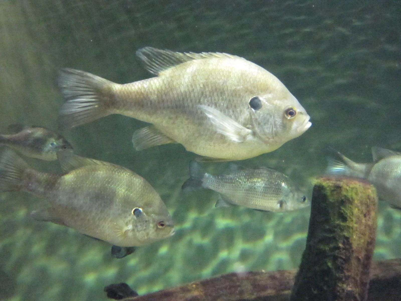 Facts about freshwater sunfish for Freshwater fish facts