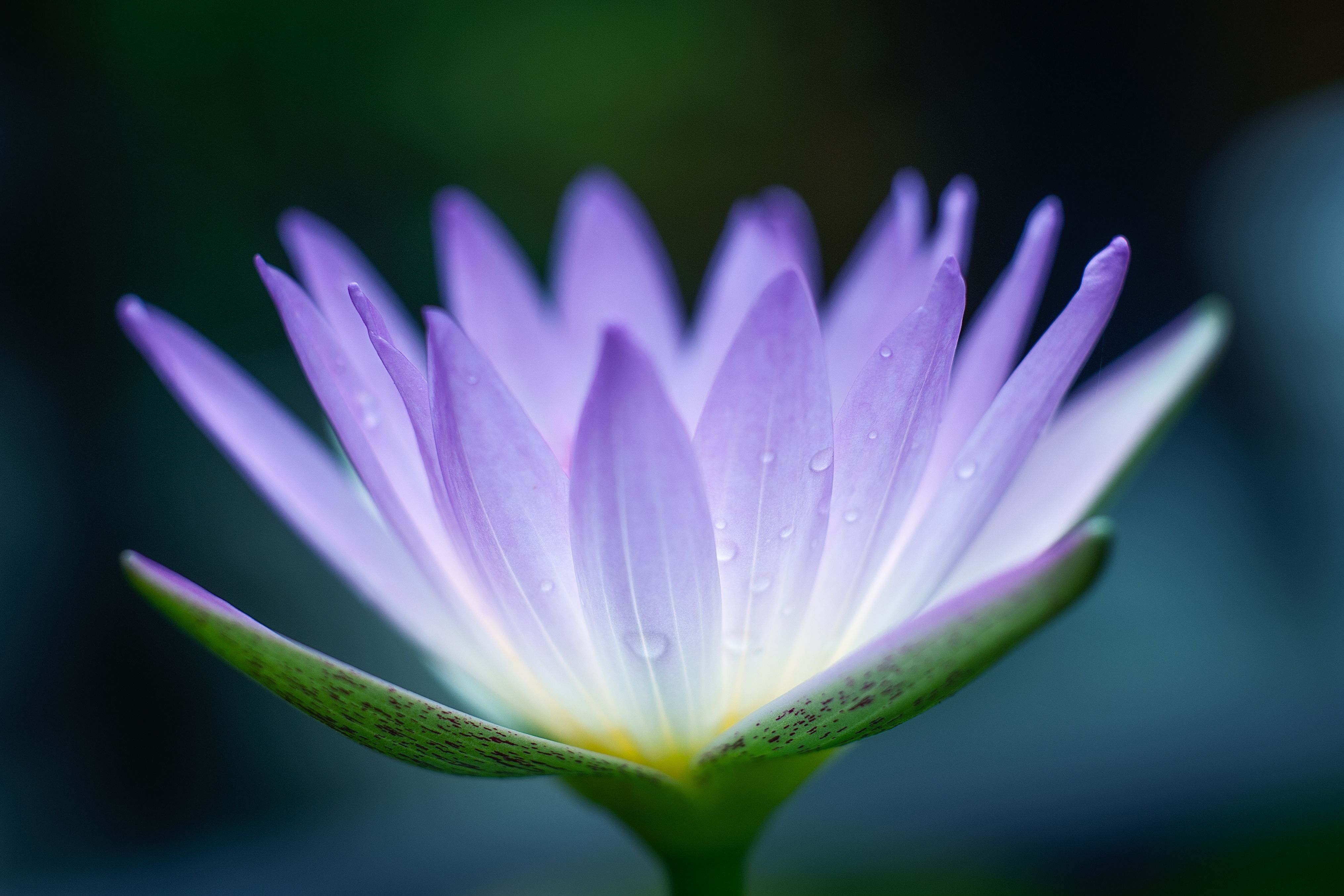 Chinese flowers and their meanings purple lotus biocorpaavc