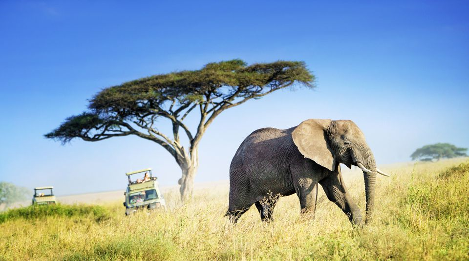 Large African Elephant Against Acacia Tree and Safari Vehicles in Background