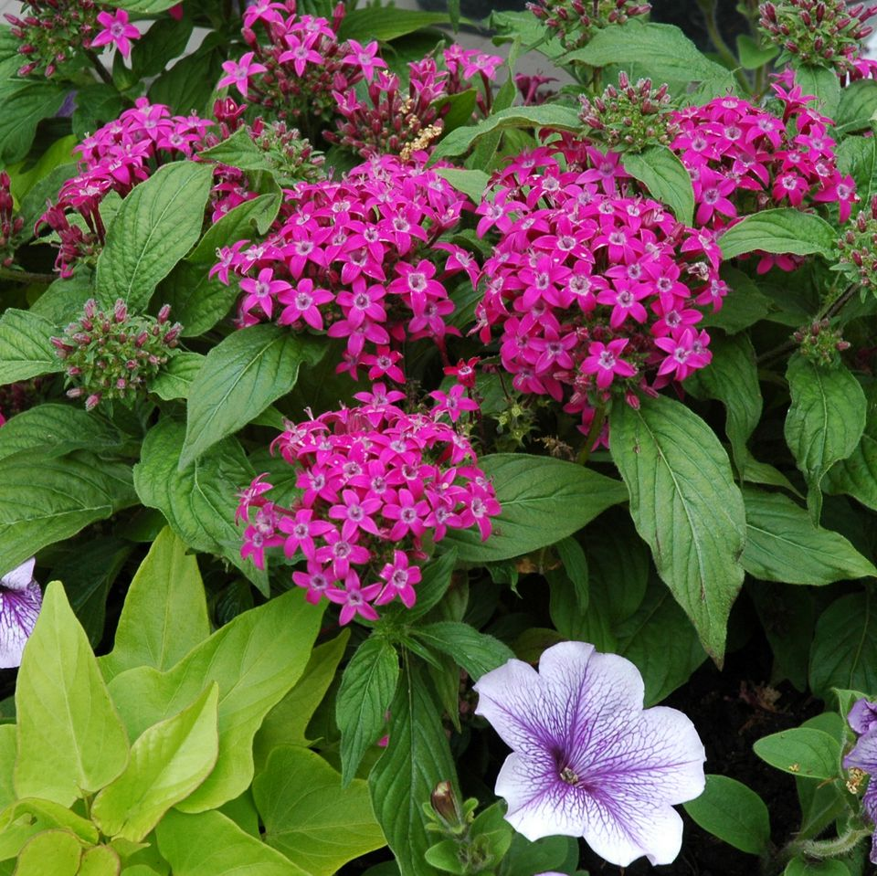 container garden picture of pentas, petunias and sweet potato vine