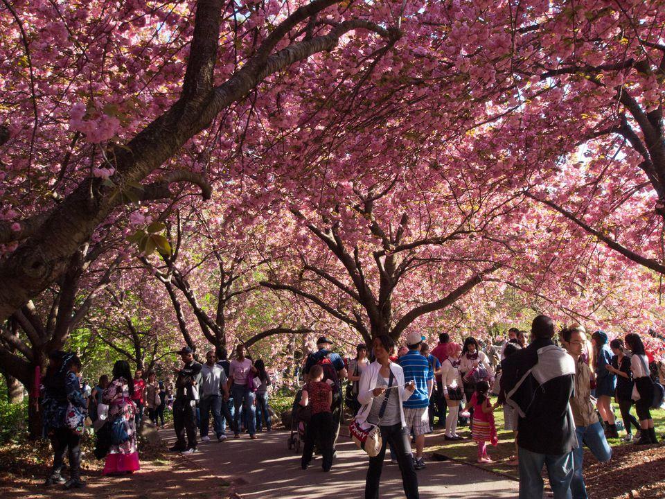 Cherry Blossom Festival, Brooklyn Botanical Gardens