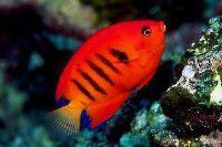 Flame Angelfish (Centropyge loriculus)