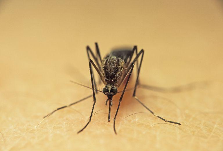Feeding Mosquito.